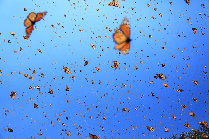 Flight of the Butterflies 5